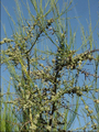 Scotch Broom Galls1