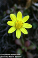 Crocidium multicaule