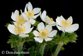Anemone occidentalis 3918