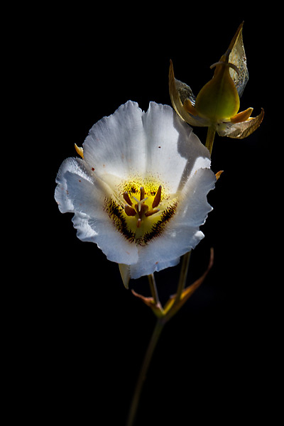 Calochortus_howellii
