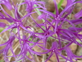 Allium_falcifolium