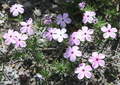 Jerome Brown, Phlox diffusa, Polemoniaceae, spreading phlox, Crater Lake, 8-25-12