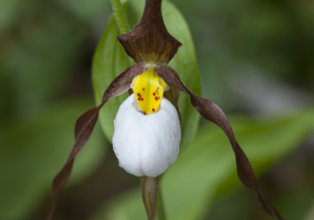 Cypripedium_montanum