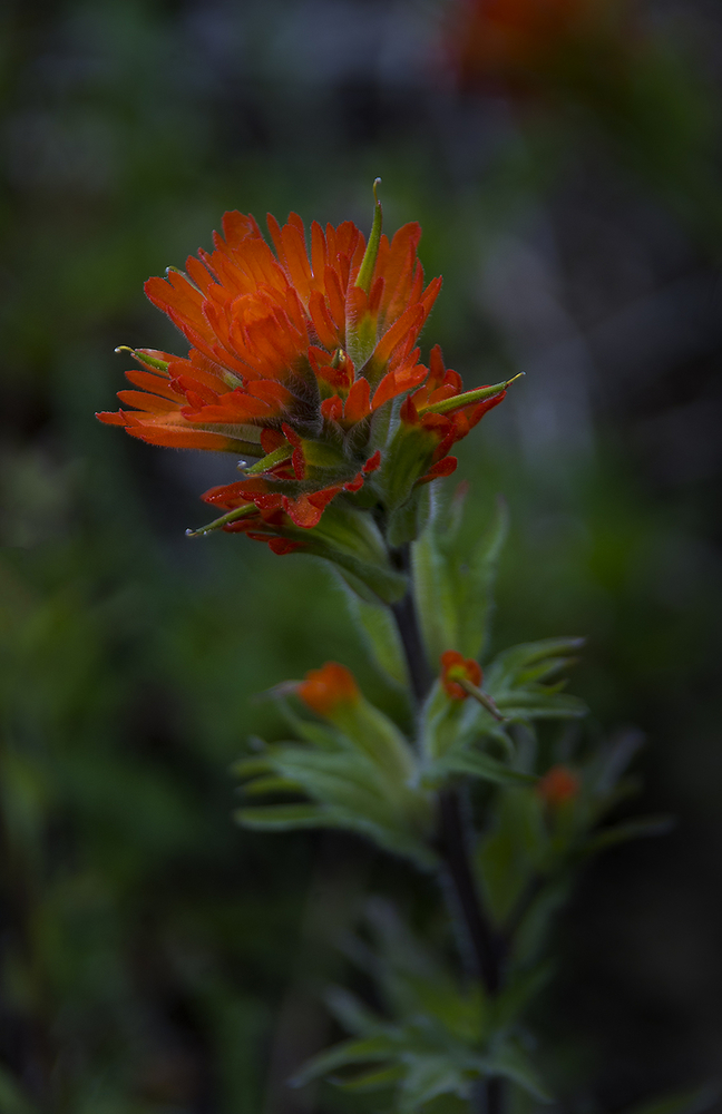 Harsh Indian Paintbrush (Castilleja hispida var. hispida)-Mary's Peak-Oregon-Bill Stone