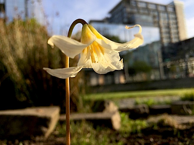 Erythronium oregonum, Oregon Fawn Lily –Liliaceae–Tanner Springs Park Portland March 2016 Alice Brocum