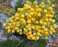Polly Maertz, mahonia aquifolium, Berberidaceae, Oregon grape, Umpqua National Forest, Toketee Lake, 05242017